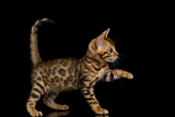 Playful Bengal Kitten on isolated Black Background side view
