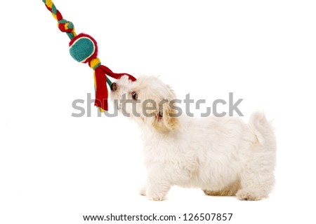 Playful Bichon Frise cross puppy tugging on her toy isolated on a white background