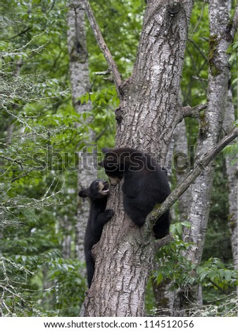 Playful Black Bear Cubs