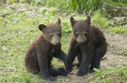 Playful Black bear cubs (Ursus americanus) in spring
