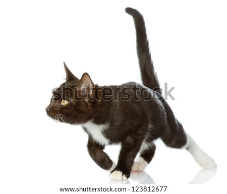 Playful black cat. isolated on white background