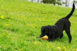 Playful black Labrador puppy plays with ball in summer on the grass. Funny dog pet.