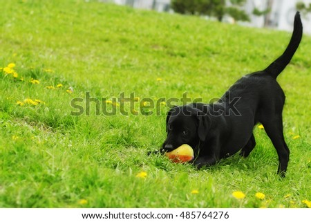 Stock Photo Playful black Labrador puppy plays with ball in summer on the grass. Funny dog pet.