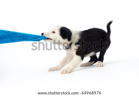 Playful border collie puppy tugging on a towel