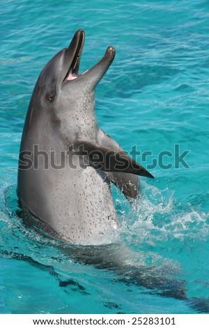 Playful bottlenose dolphin splashing in blue water - stock photo