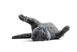 Playful British blue cat