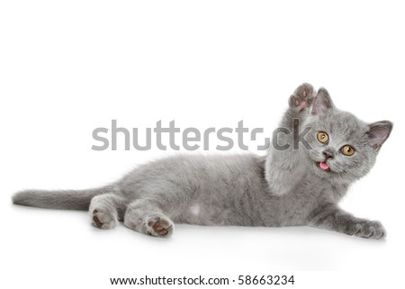 Playful British kitten isolated on a white background