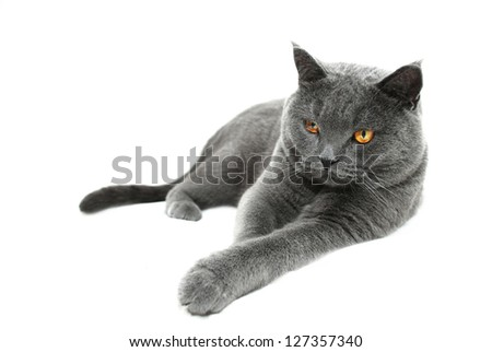 Playful British shorthair cat, lying, isolated on a white background
