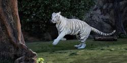 Playful captive White Tiger (Panthera tigris tigris), Loro Park, Puerto de la Cruz, Tenerife, Spain