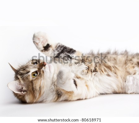 Playful cat lying on her back