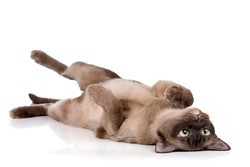 Playful cat lying on his back on a white background