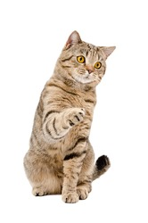 Playful cat Scottish Straight, sitting with a raised paw, isolated on a white background