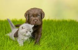 Playful Chocolate Labrador Retriever puppy hugs kitten on green summer grass. Empty space for text