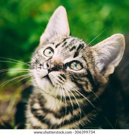 Playful Cute Tabby Gray Cat Kitten Pussycat Play In Grass Outdoor, Sunny Summer Evening