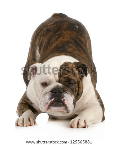 playful dog - english bulldog with bum up in the air isolated on white background - stock photo