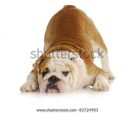 playful dog - english bulldog with reflection on white background