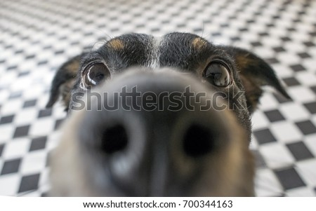 Playful dog face, black white and brown, with nose close to the camera lens, focus on face, closeup, with black and white tiled floor background