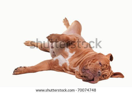 Playful dog of Dogue De Bordeaux Breed laying on the floor isolated on white background
