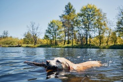 Playful dog swimming in lake. Labrador retriever carrying stick from water. Ore mountains, Czech Republic