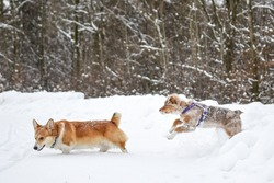 Playful dogs corbi and aussie in winter.