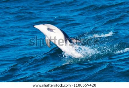 Playful Dolphins at Kaikoura #1180559428