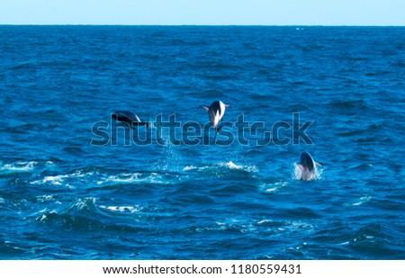 Playful Dolphins at Kaikoura #1180559431