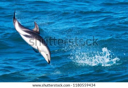 Playful Dolphins at Kaikoura #1180559434