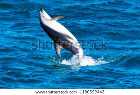 Playful Dolphins at Kaikoura #1180559443