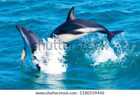 Playful Dolphins at Kaikoura #1180559446