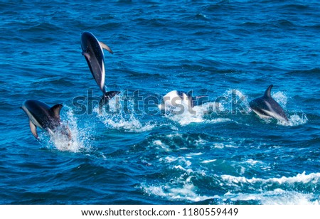 Playful Dolphins at Kaikoura #1180559449