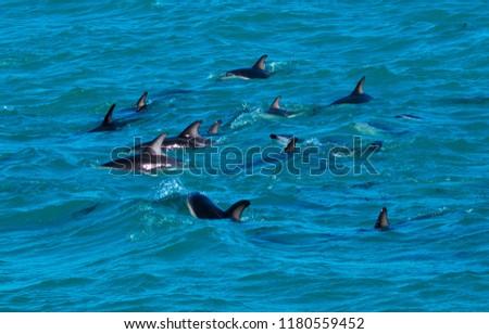 Playful Dolphins at Kaikoura #1180559452