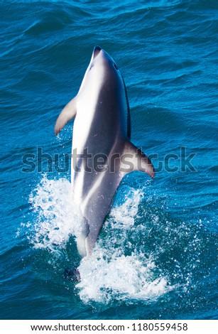 Playful Dolphins at Kaikoura #1180559458