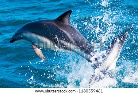 Playful Dolphins at Kaikoura #1180559461