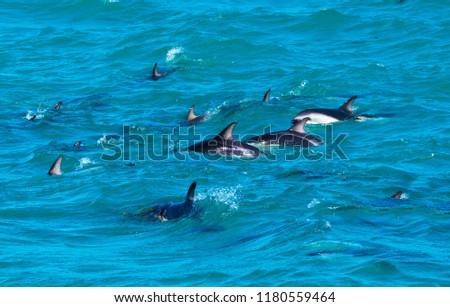 Playful Dolphins at Kaikoura #1180559464