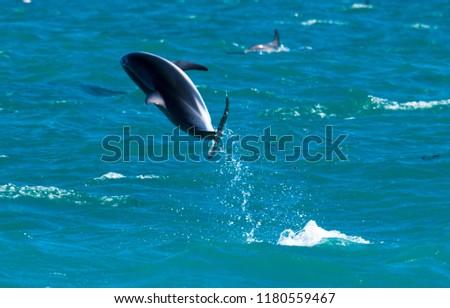 Playful Dolphins at Kaikoura #1180559467