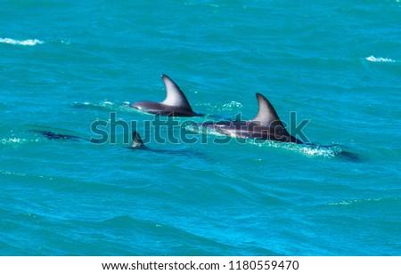 Playful Dolphins at Kaikoura #1180559470