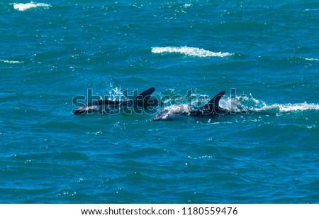 Playful Dolphins at Kaikoura #1180559476
