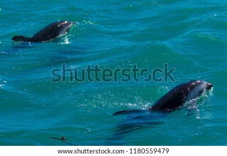 Playful Dolphins at Kaikoura #1180559479