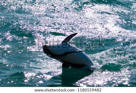 Playful Dolphins at Kaikoura #1180559482