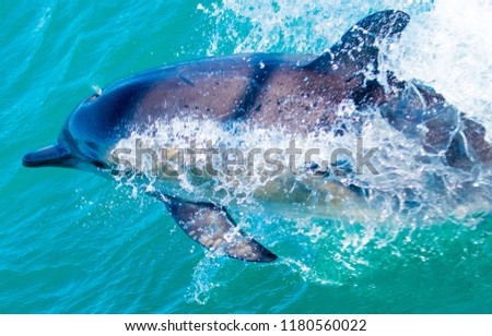 Playful dolphins at Kaikoura #1180560022