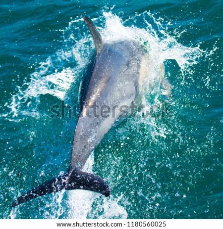 Playful dolphins at Kaikoura #1180560025