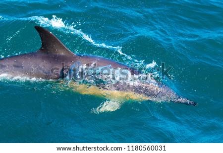 Playful dolphins at Kaikoura #1180560031