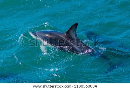 Playful dolphins at Kaikoura #1180560034