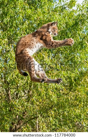 Playful Eurasian Lynx Jumping to Catch Something in Paws against Trees