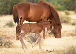 Playful Foal Having Fun In Colorful Fall Pasture In Front Of Grazing Mother. The movement of the foal is fun and inspiring.