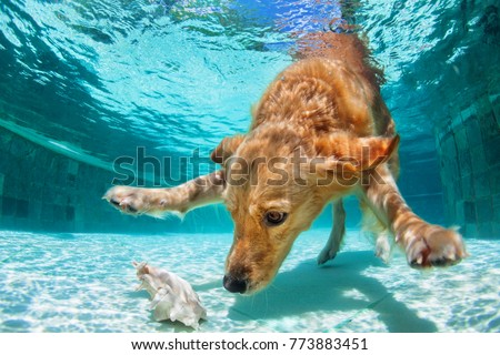 Playful golden labrador retriever puppy in swimming pool has fun. Dog jump, dive underwater to fetch ball. Dog training classes, active games with family pet. Popular breeds activity on summer holiday #773883451