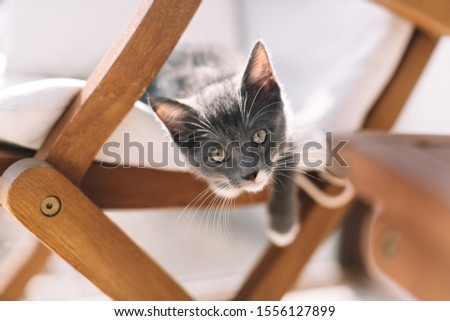 Playful grey kitty with white feet hanging from armchair and looking in frame. Raising pets. Domestic animals concept. Cat whiskers. Selective focus on feline face. Close up.  #1556127899