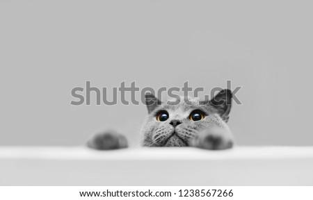 Playful grey purebred cat peeking out. British shorthair cat. Domestic animal.