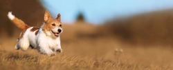 Playful happy cute smiling pet dog puppy running, jumping in the grass. Web banner.