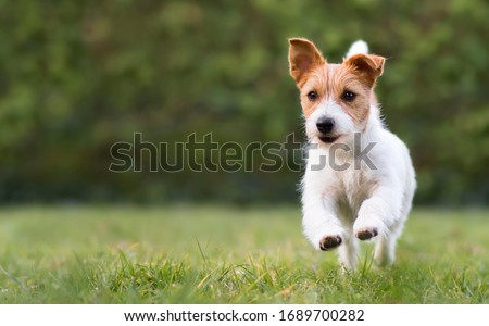 Playful happy jack russell terrier pet dog puppy running in the grass and listening with funny ears